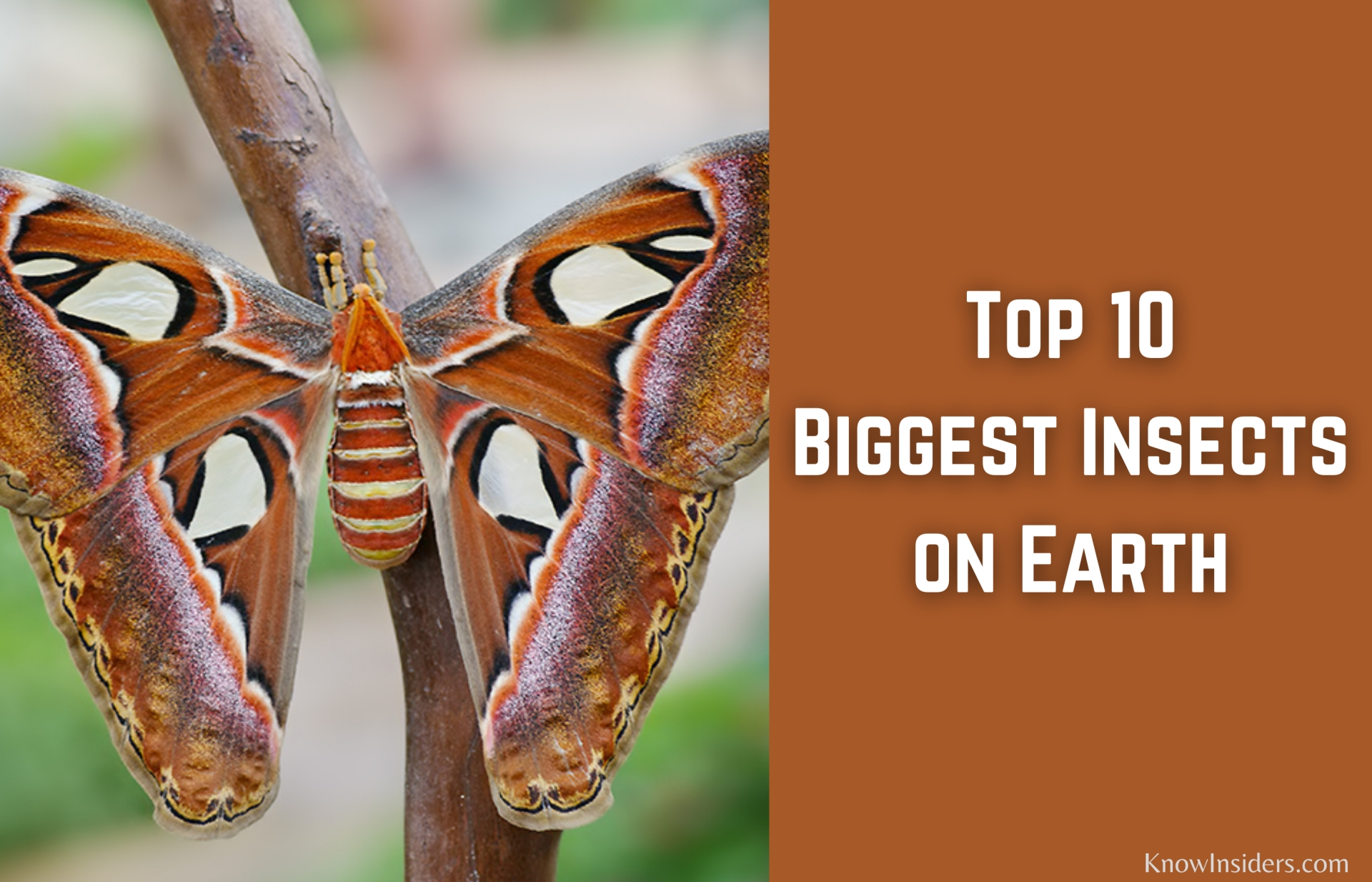 Top 10 Biggest Insects in the World