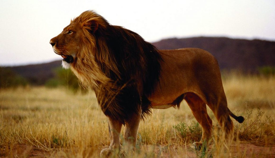 Facts About Black-Mained Lion: One of The Strongest Predators, Popularity, Extinction